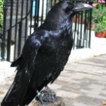 A Clever Corvid